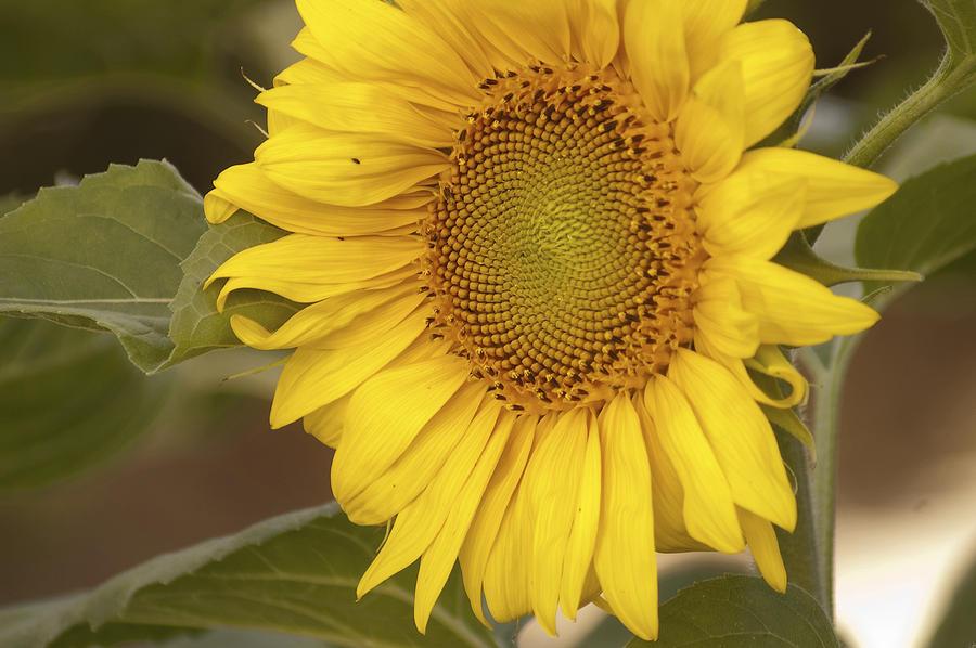 Gift Photograph - Sunflower-2 by Alexander Rozinov