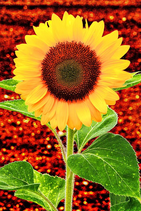 Flower Photograph - Sunflower 2 by Bob Slitzan