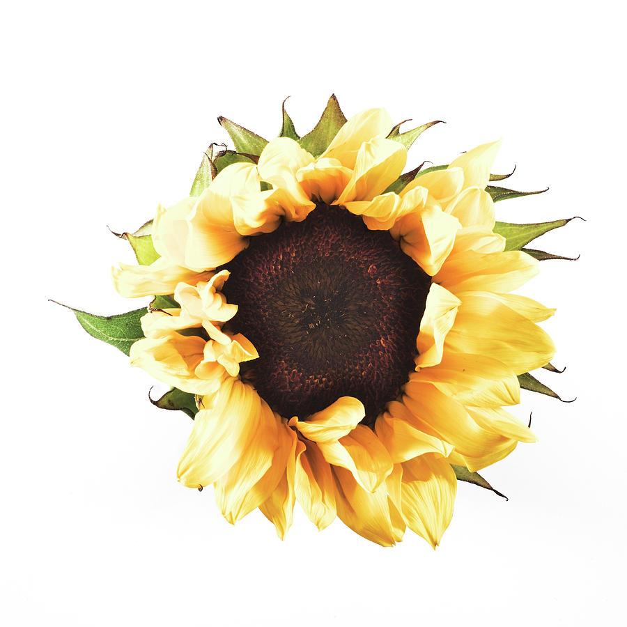 Sunflower #2 by Desmond Manny