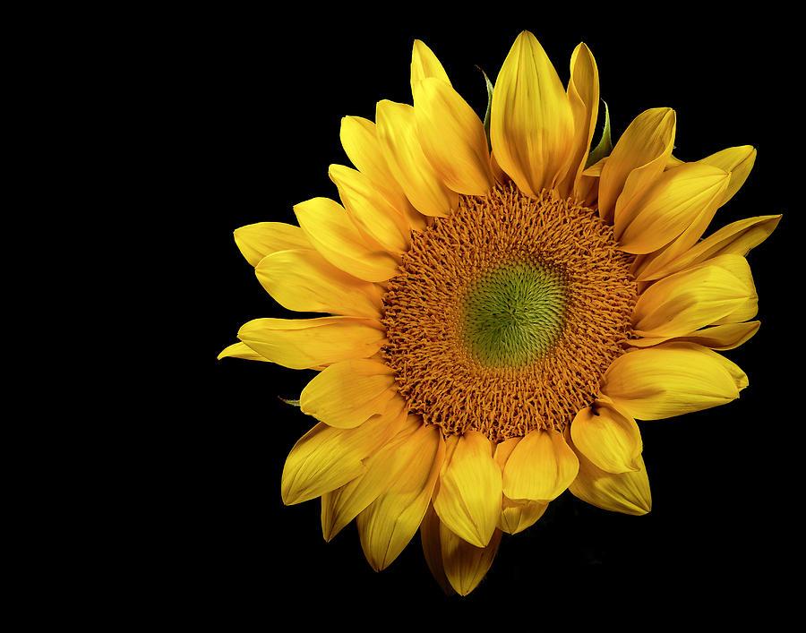Sunflower 2 by James Sage