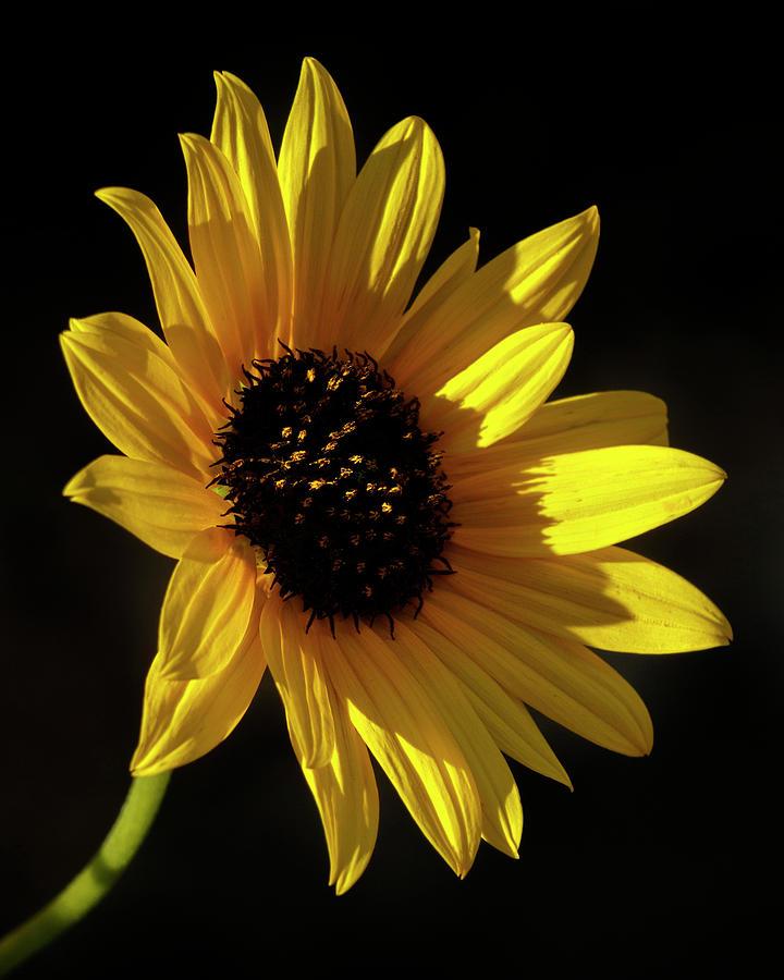 Kansas Photograph - Sunflower 2 by Rob Graham