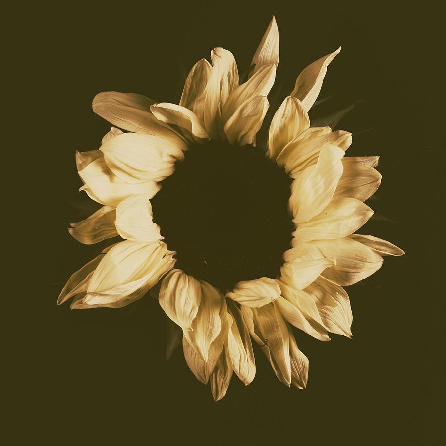 Sunflower #3 by Desmond Manny