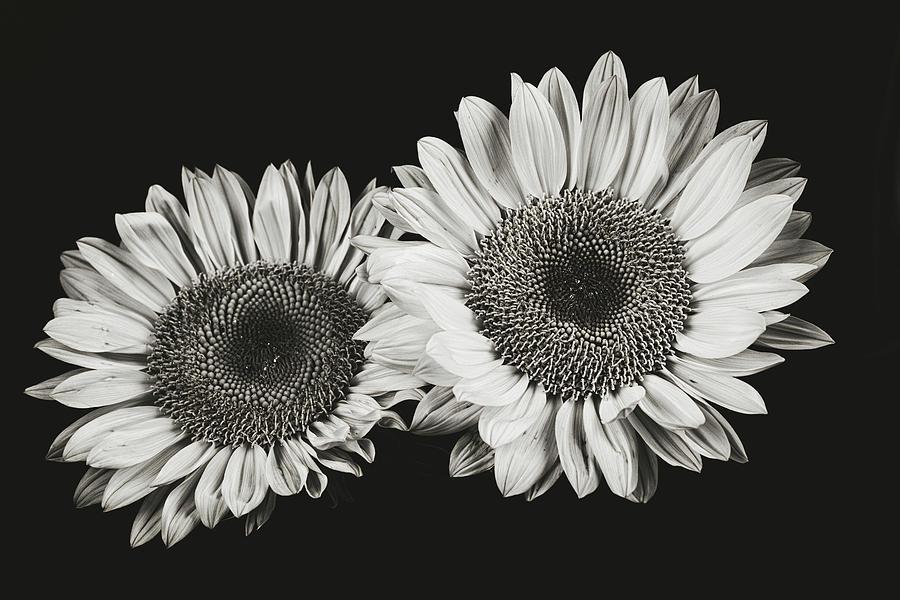 Sunflower #5 by Desmond Manny