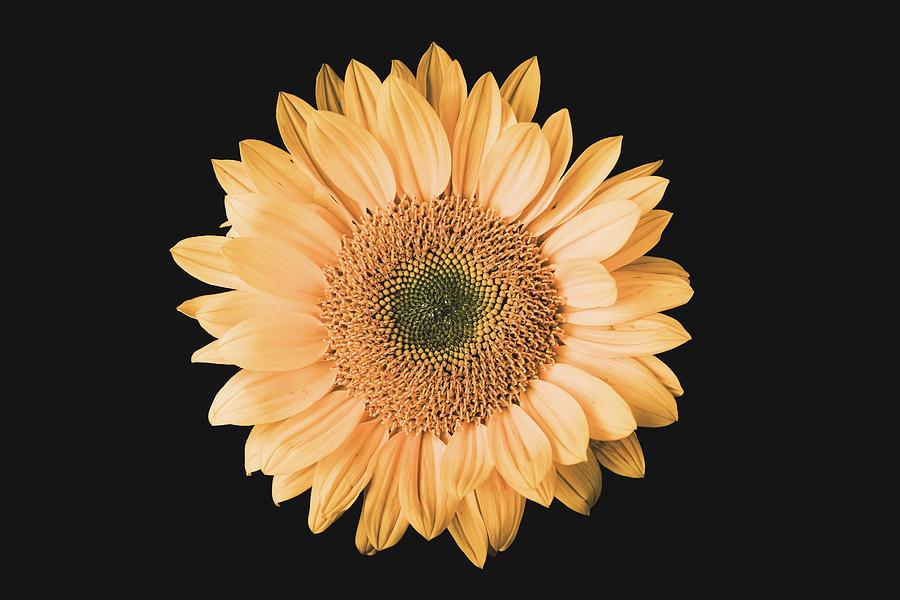 Sunflower #6 by Desmond Manny