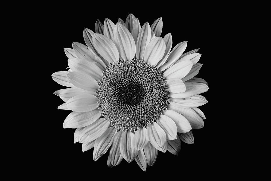 Sunflower #7 by Desmond Manny