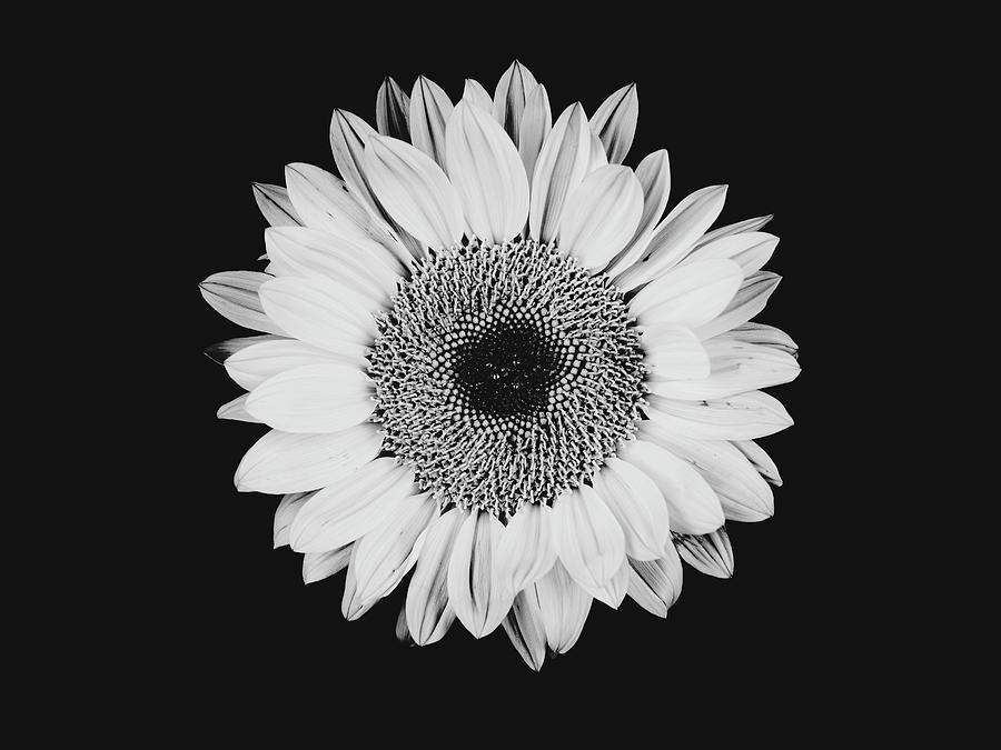 Sunflower #8 by Desmond Manny