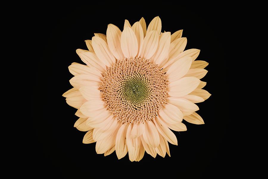 Sunflower #9 by Desmond Manny