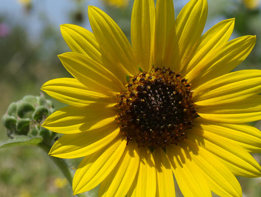 Floral Photograph - Sunflower 9  by James Granberry