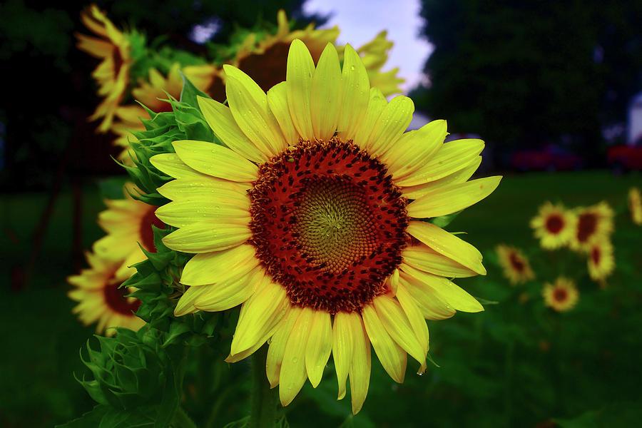 Sunflower Photograph - Sunflower After A Summer Rain by Brad Chambers