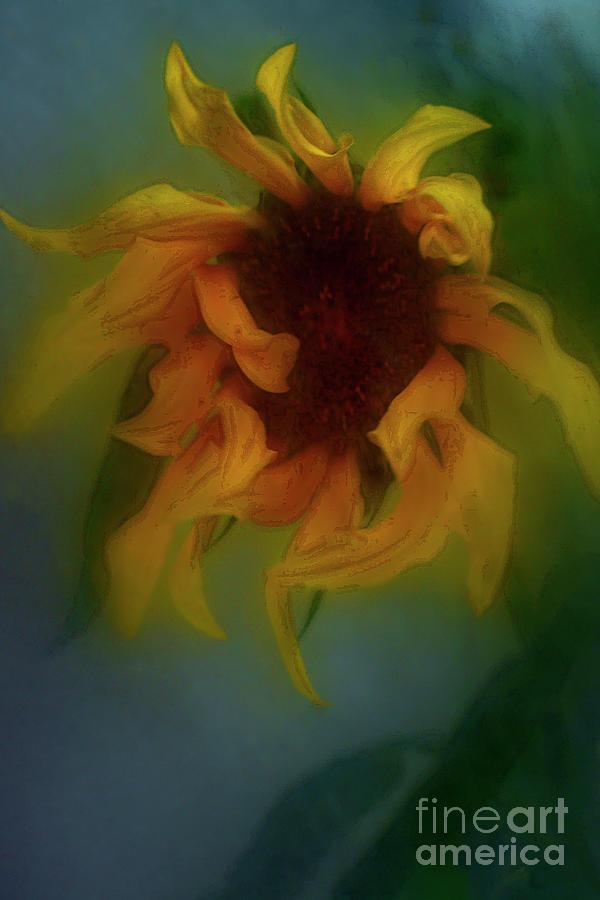 Sunflower. Photograph