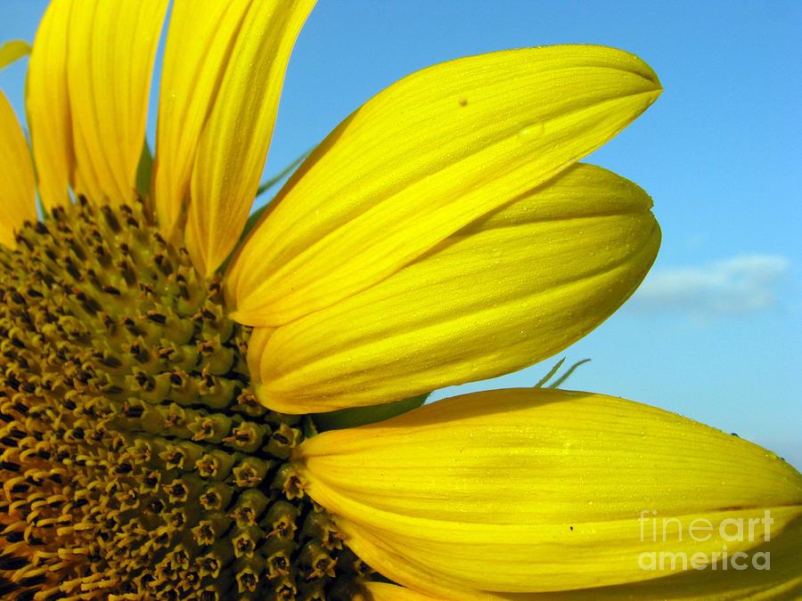Sunflowers Photograph - Sunflower by Amanda Barcon
