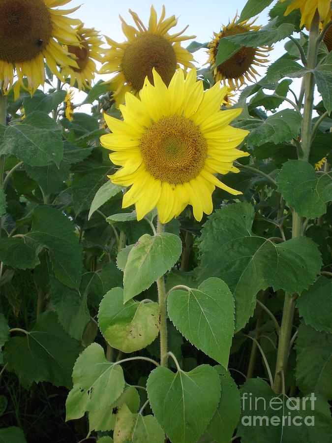 Garden's Photograph - Sunflower Amungst Sunflowers by Chandelle Hazen