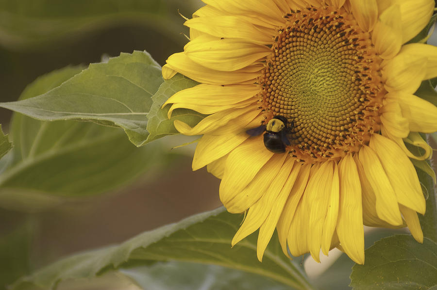 Gift Photograph - Sunflower And Bee by Alexander Rozinov