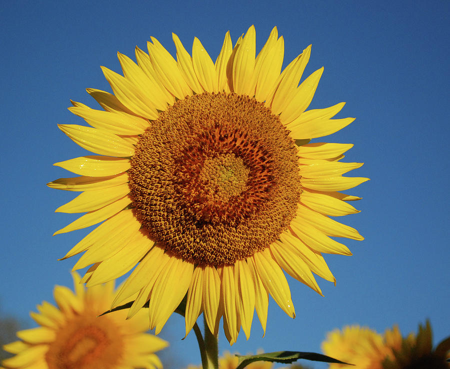 Sunflower Photograph - Sunflower And Blue Sky by Nancy Landry