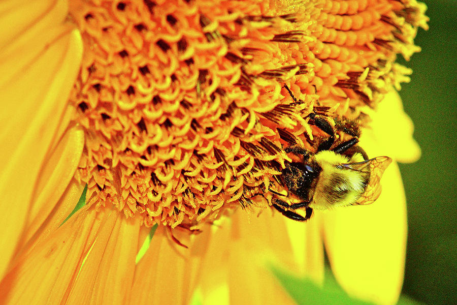 Sunflower And Bumblebee Photograph