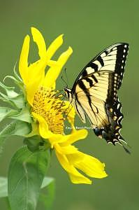 Butterfly Photograph - Sunflower And Butterfly by Cindy Wozniak