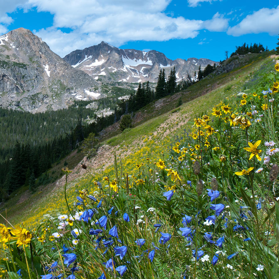 Sunflower And Harebell Wildflowers In The Indian Peaks Photograph