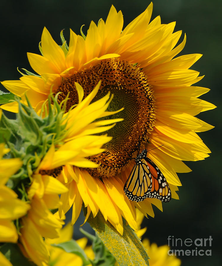Sunflower Photograph - Sunflower And Monarch 3 by Edward Sobuta