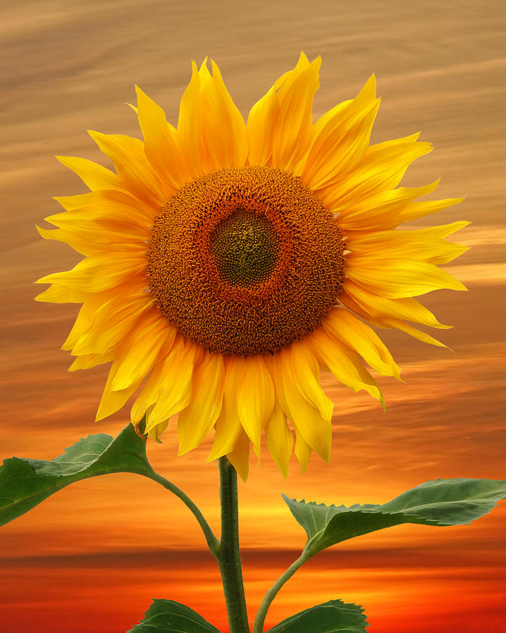 Sunflower And Red Sunset by Gill Billington