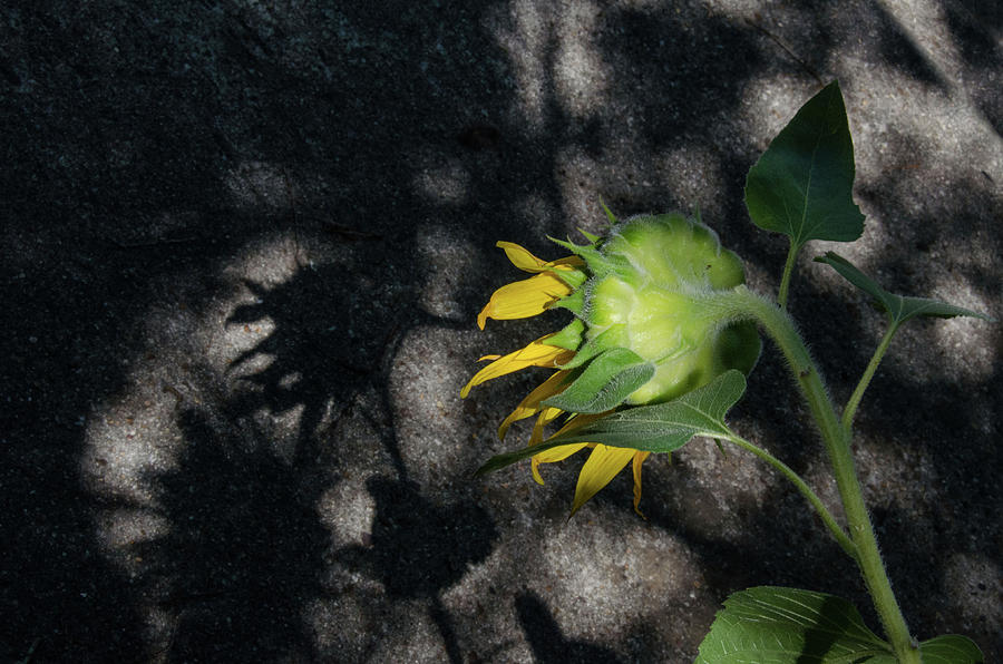 Sunflower Photograph - Sunflower And Shadow by Pam Kaster
