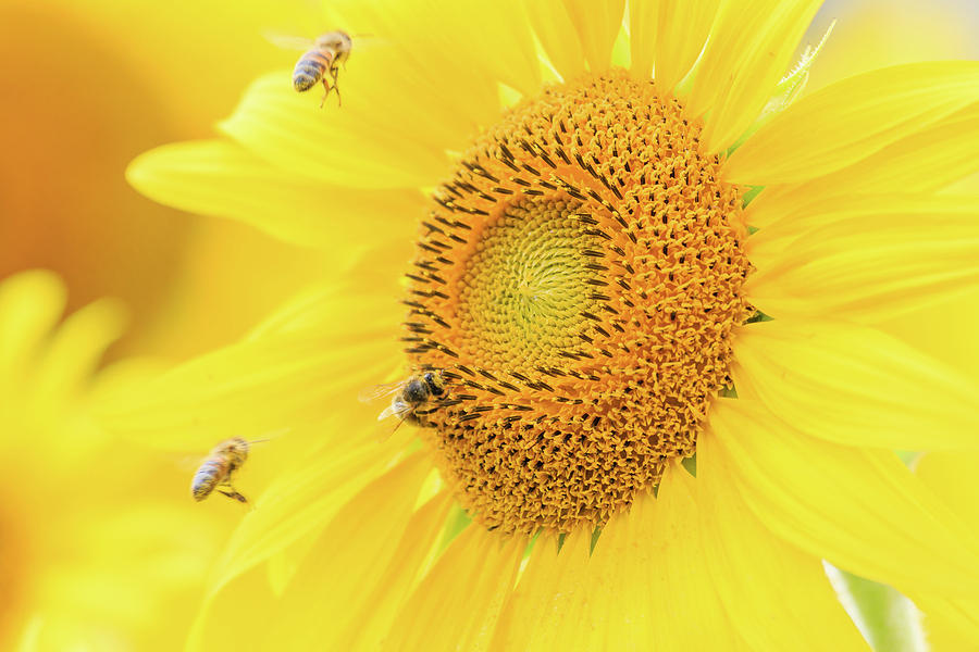 Sunflower and The Bees by Joni Eskridge