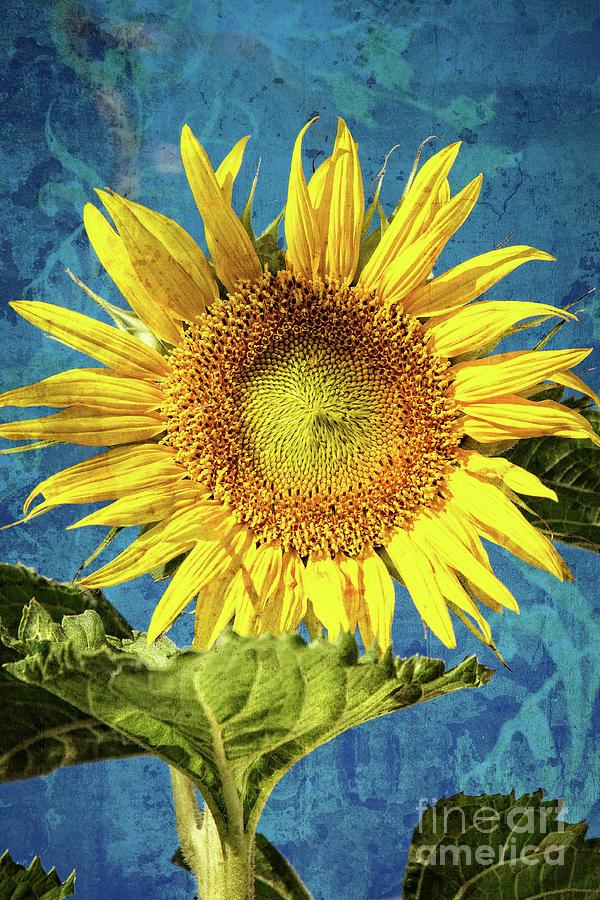 Sunflower Photograph - Sunflower Art by Dianne Phelps