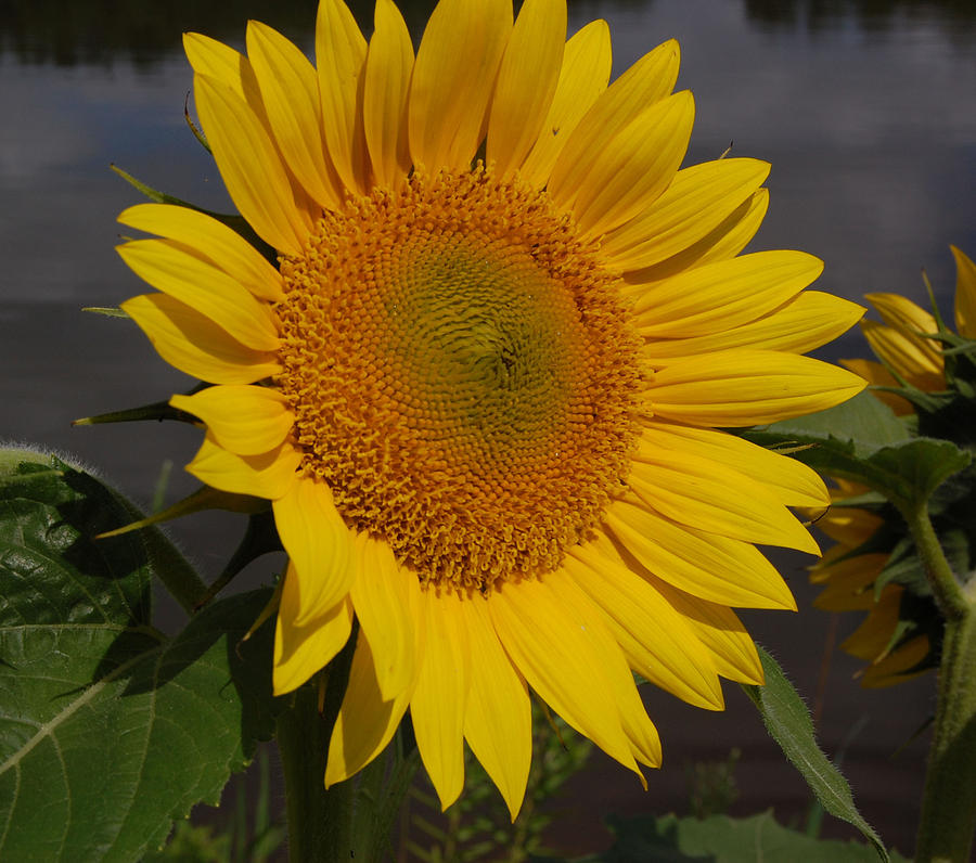 Flower Photograph - Sunflower by Audrey Venute