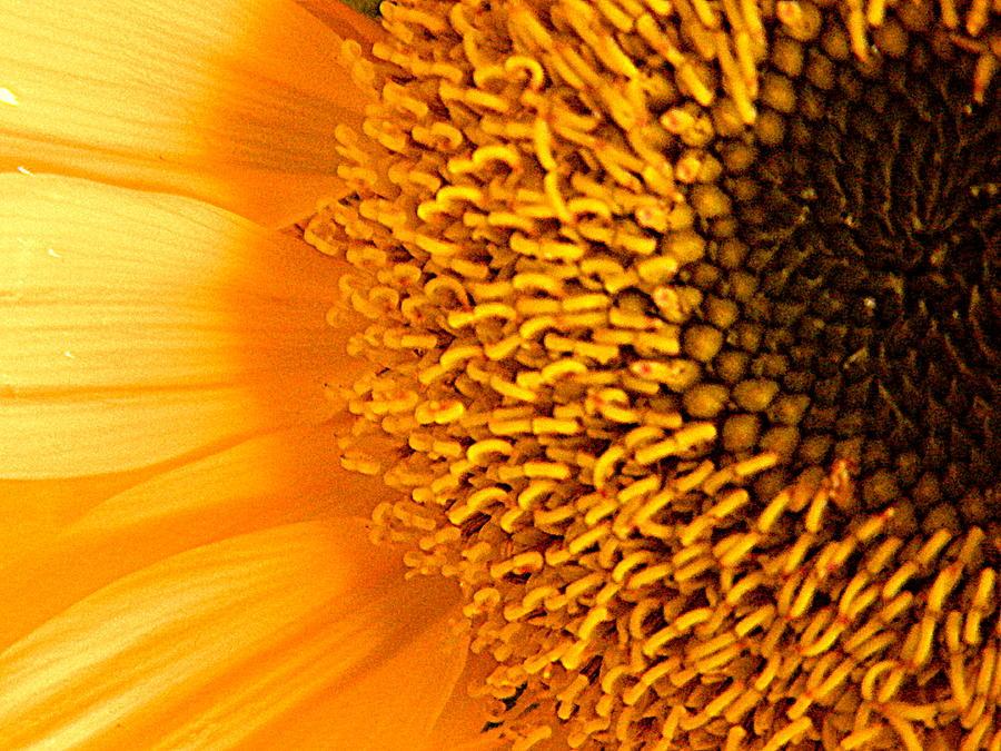 Download Macro Sunflower HD k Wallpapers In x Screen