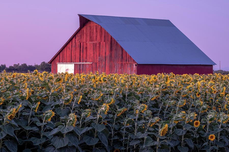 Sunflowers Photograph - Sunflower Barn by Robin Mayoff