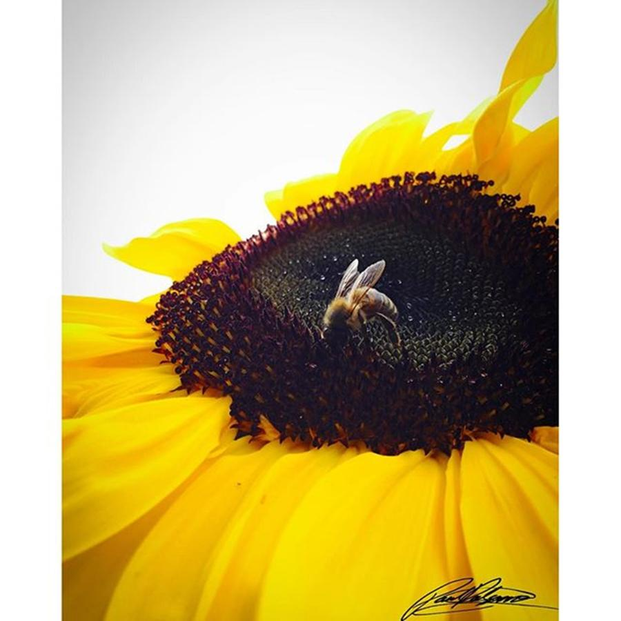 Beautiful Photograph - Sunflower Bee Photo By @pauldalsasso by Paul Dal Sasso