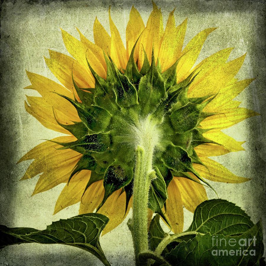 Back Photograph - Sunflower by Bernard Jaubert