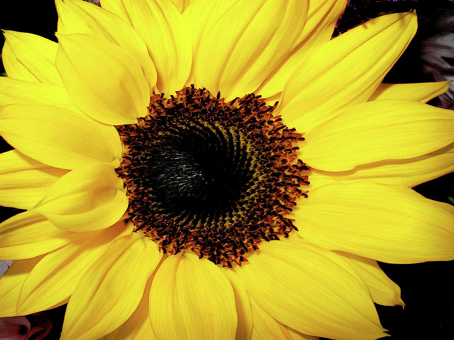 Sunflower Photograph - Sunflower Big And Beautiful by Julie Palencia