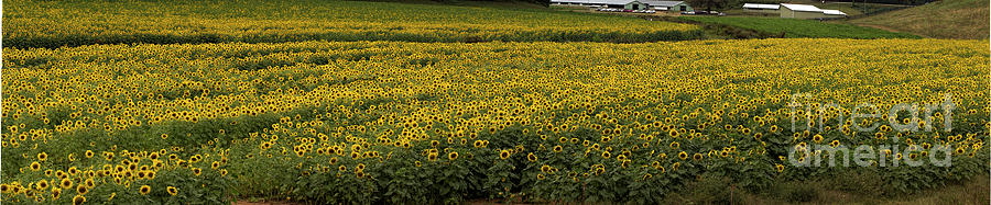 Sunflower Bliss Panorama by Barbara Bowen