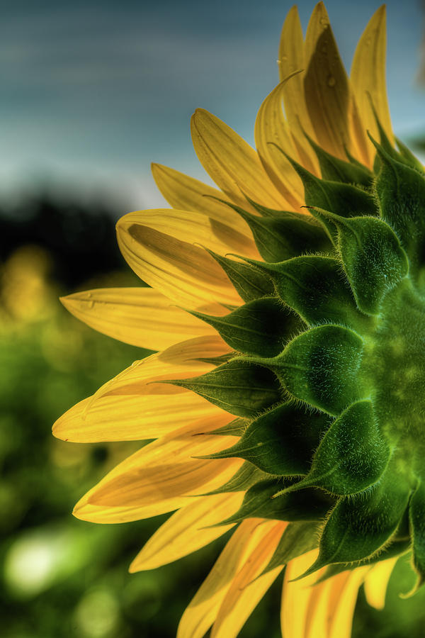 Sunflower Blooming Detailed by Dennis Dame