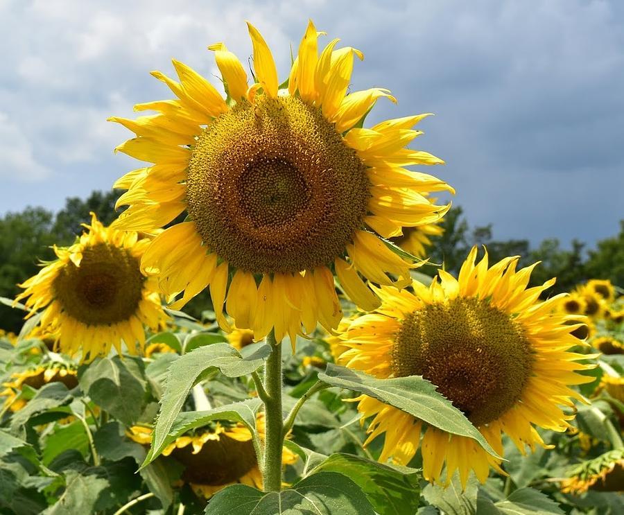 Sunflower Photograph by Brian Baggett