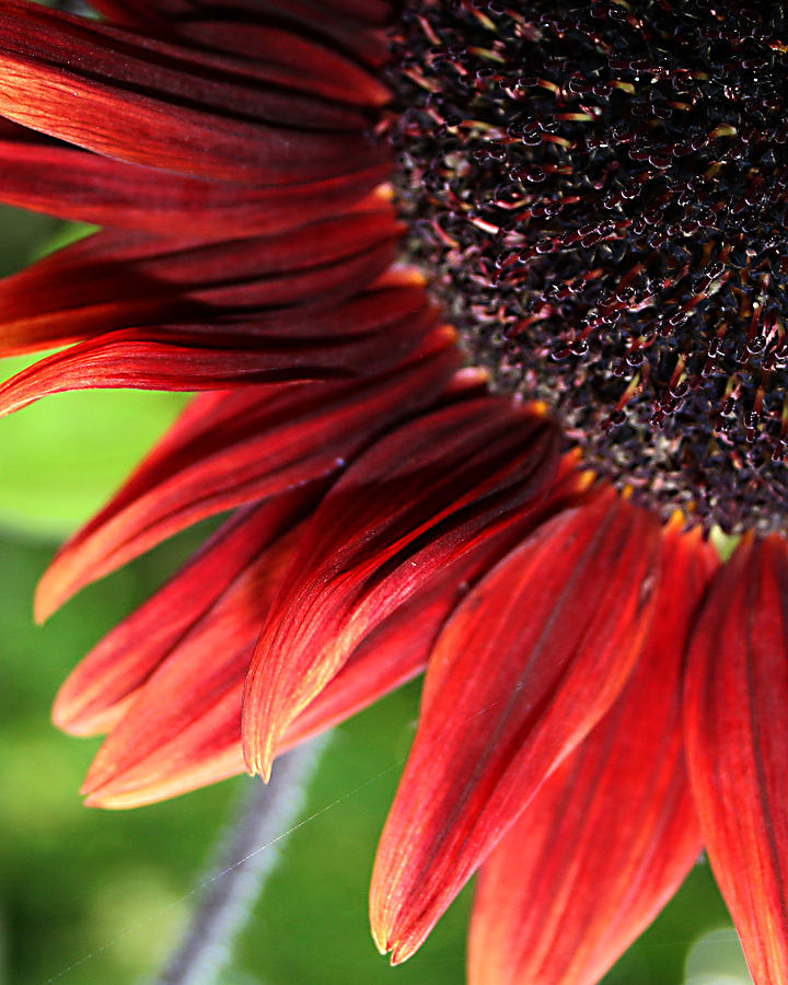 Red Photograph - Sunflower by Carol Hicks