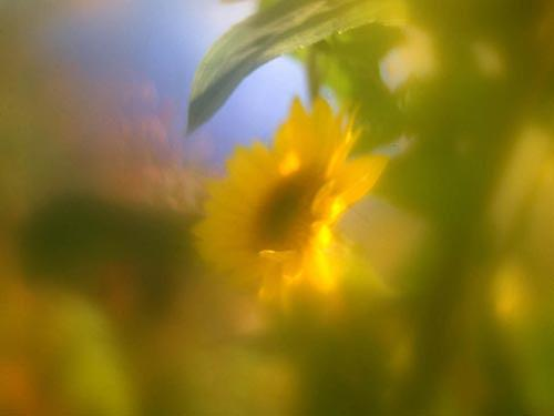 Flowers Photograph - Sunflower by Catherine Kelly