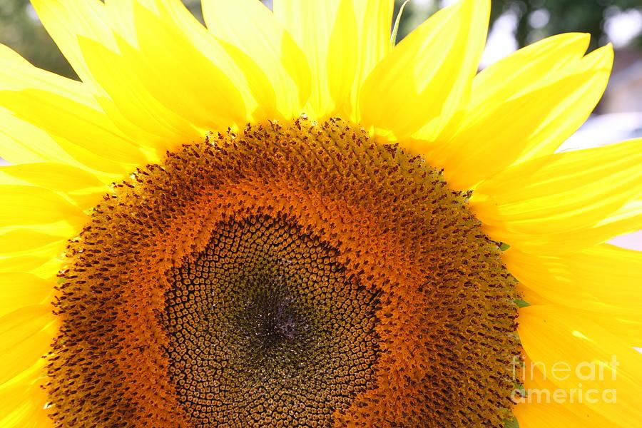 Flower Photograph - Sunflower by Chuck Kuhn