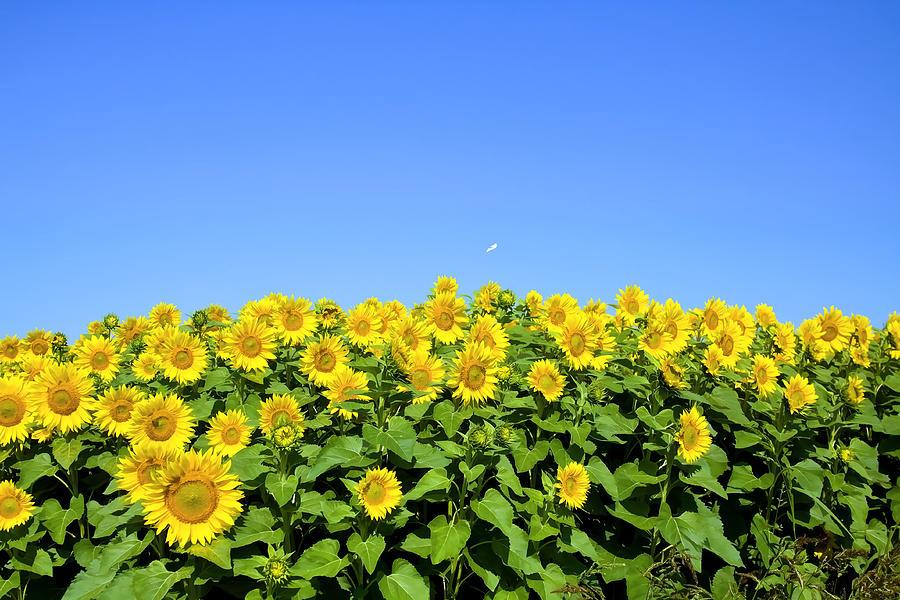 Sunflower Digital Art - Sunflower City by Gary Smith