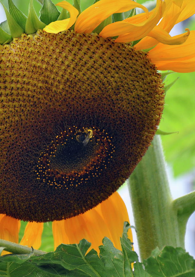 Sunflower Photograph - Sunflower Close Up by Caroline Reyes-Loughrey