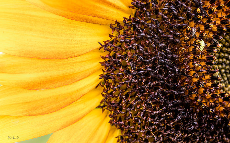 Sunflower Closeup Photograph by Bob Orsillo