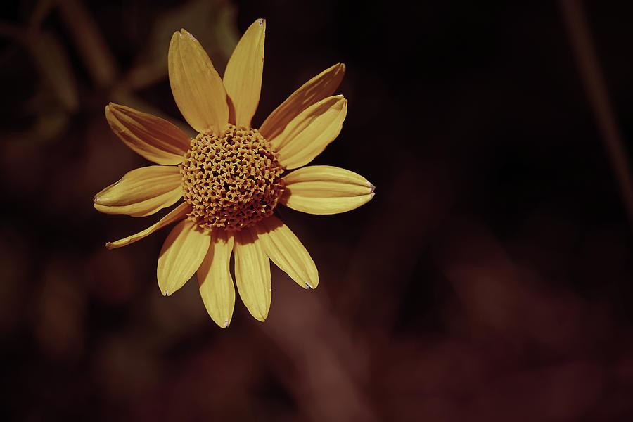 Sunflower Photograph - Sunflower/Coneflower by Maxwell Dziku