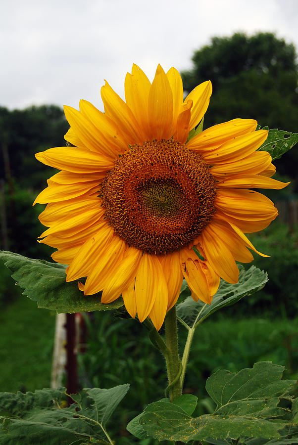 Sunflower Photograph - Sunflower by Coralyn Klubnick Simone