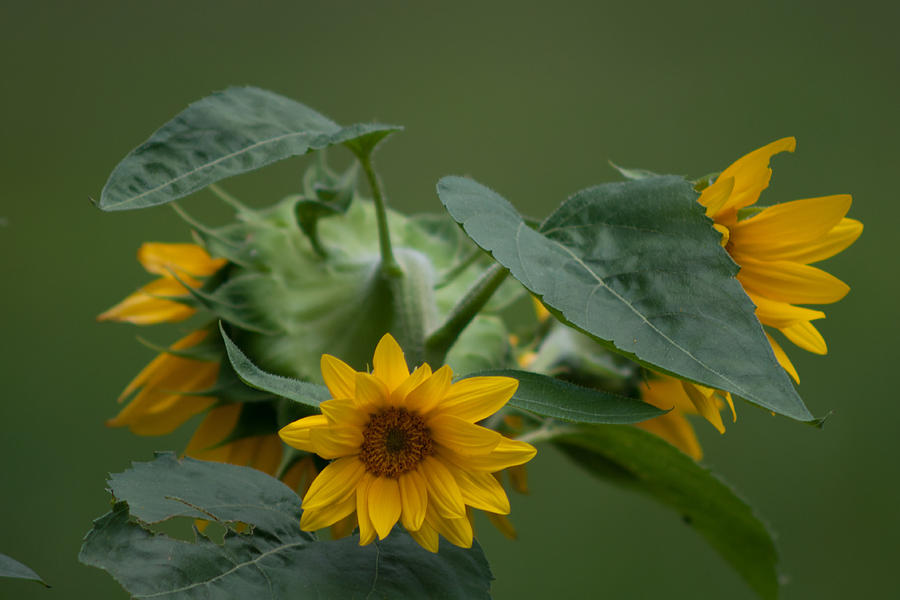 Blossoms Photograph - Sunflower by Craig Hosterman