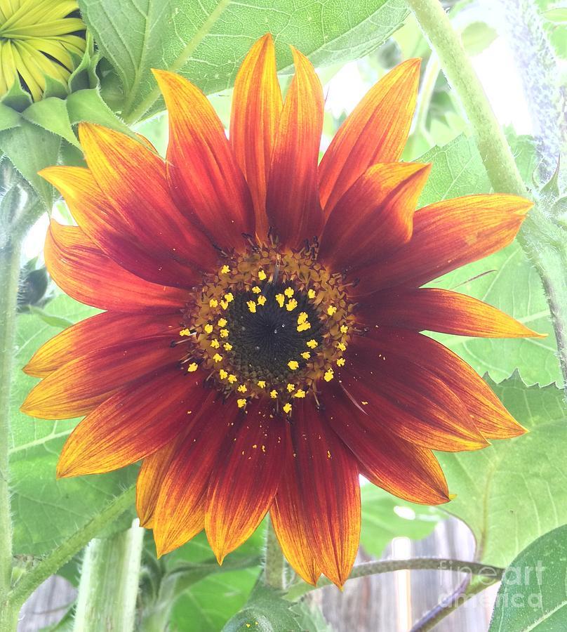 Sunflower Photograph - Sunflower by Craig Sulser