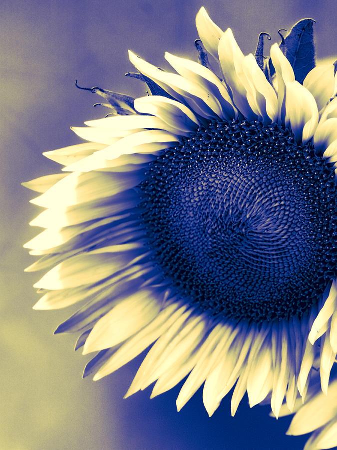 Sunflower Photograph - Sunflower Sunrise by William Dey