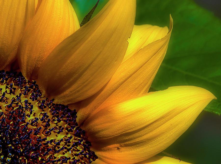 Flowers Photograph - Sunflower Detail by Gary Shepard