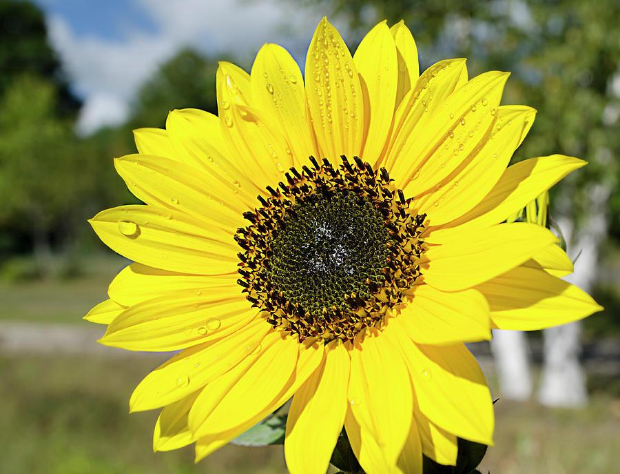 Sunflower Photograph - Sunflower Dew by Dan Jordan