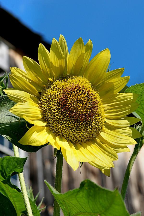 Sunflower Photograph - Sunflower by DJ Florek