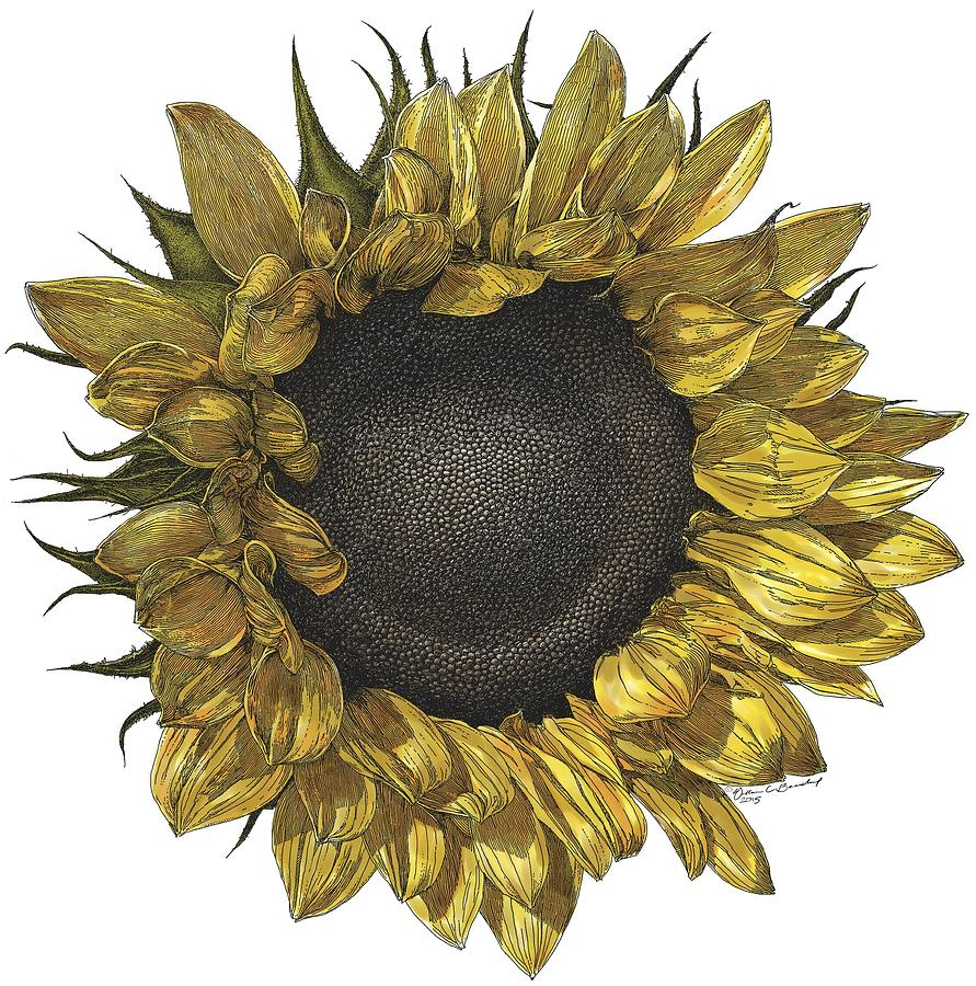 Sunflower Drawing in Color Drawing by William Beauchamp